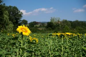 Zonnebloem in zonnebloemenveld in Italië